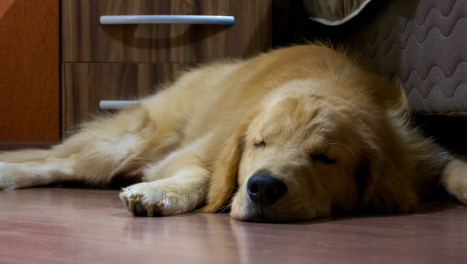 10 Natural Ways To Relieve Your Golden Retriever S Joint Pain