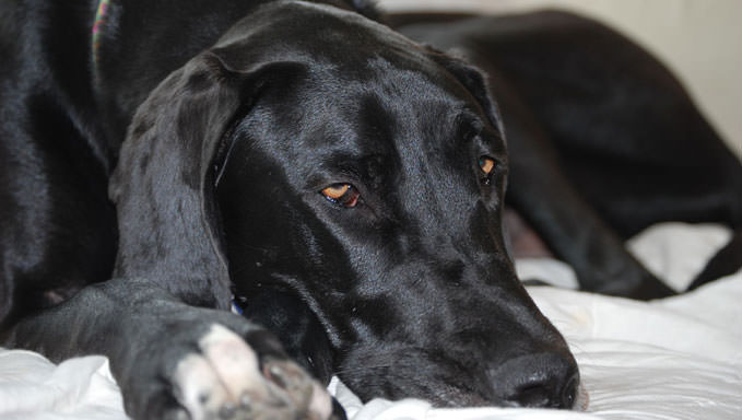 10 Natural Ways To Relieve Your Great Dane's Joint Pain