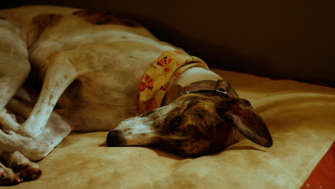 10 Natural Ways To Relieve Your Greyhound's Joint Pain
