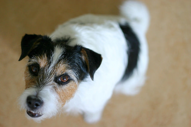 How To Teach Your Jack Russell To Stop Jumping on People