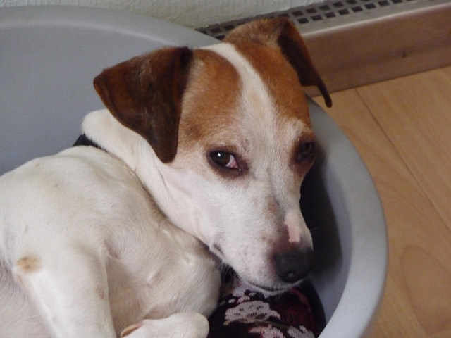 5 Signs Your Jack Russell Terrier Is Stressed