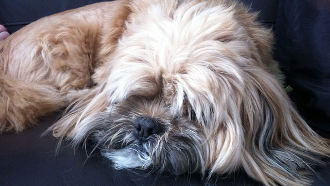 10 Natural Ways To Relieve Your Lhasa Apso's Joint Pain