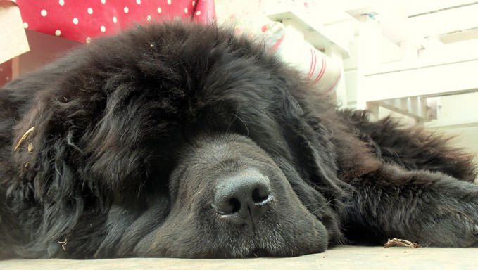 Resultado de imagen para newfoundland bed dog