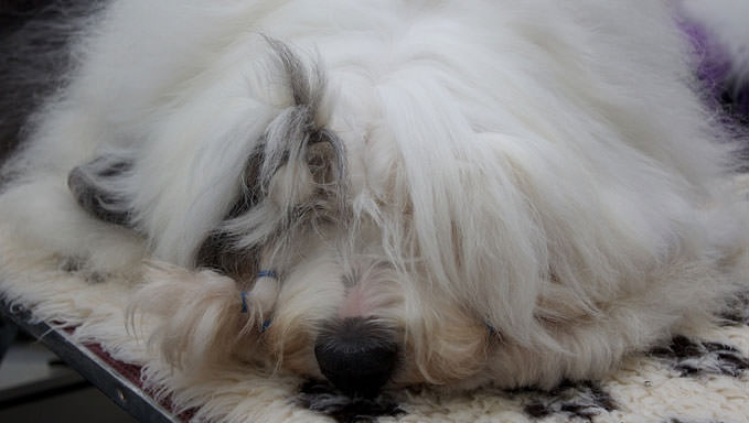 10 Natural Ways To Relieve Your Old English Sheepdog's Joint Pain