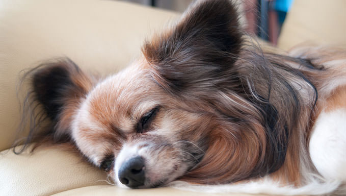 10 Natural Ways To Relieve Your Papillon's Joint Pain