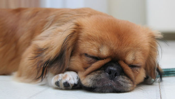 10 Natural Ways To Relieve Your Pekingese's Joint Pain