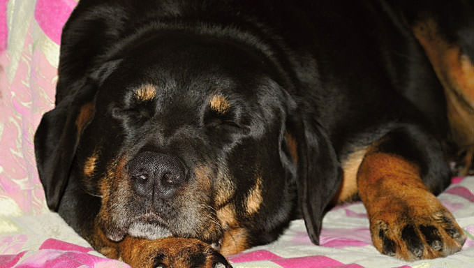 10 Natural Ways To Relieve Your Rottweiler's Joint Pain