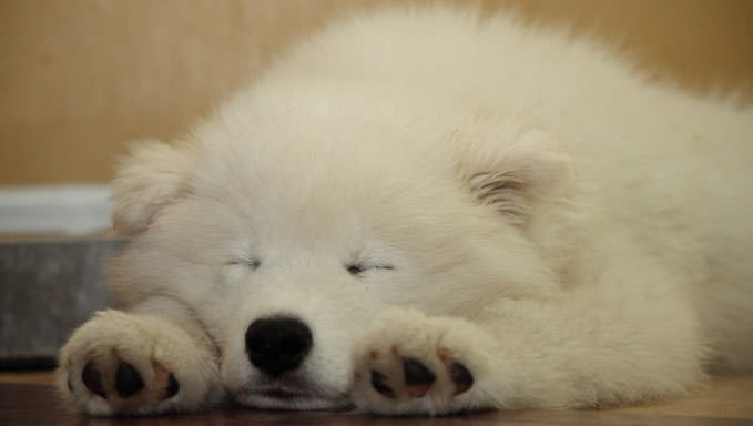 10 Natural Ways To Relieve Your Samoyed's Joint Pain