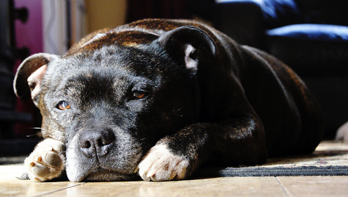 10 Natural Ways To Relieve Your Staffordshire Bull Terrier's Joint Pain