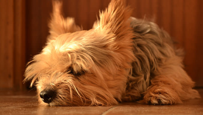 10 Natural Ways To Relieve Your Yorkie's Joint Pain