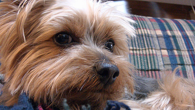 4 Things To Do When Your Yorkshire Terrier Is Stressed