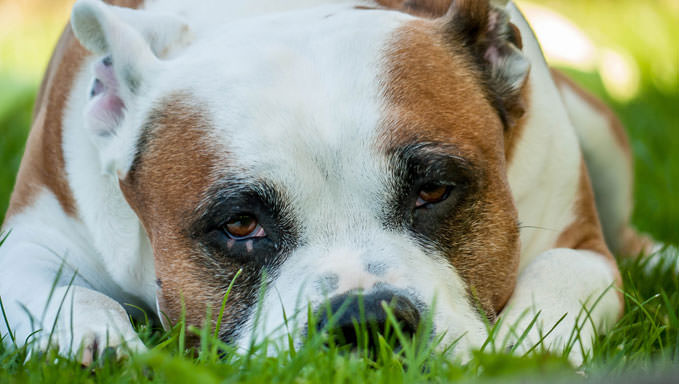 10 Natural Ways To Relieve Your American Staffordshire Terrier's Joint Pain