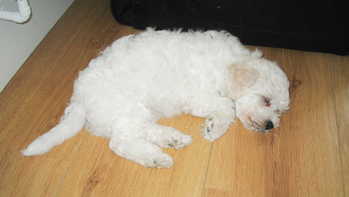 10 Natural Ways To Relieve Your Bichon Frise's Joint Pain