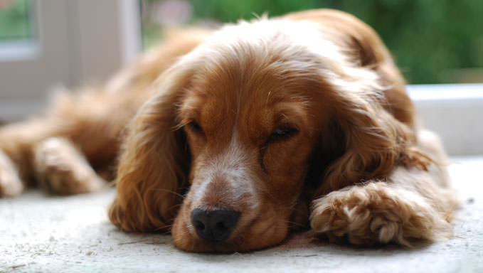10 Natural Ways To Relieve Your Cocker Spaniel's Joint Pain