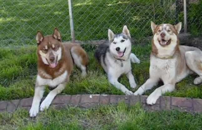 Owner Secretly Films Her Huskies Escaping Their Baby-Gated Kitchen