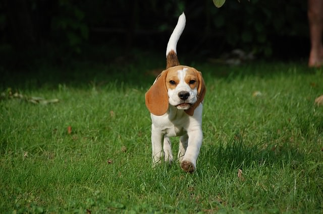3 Basic Behaviors You Must Teach Your Beagle