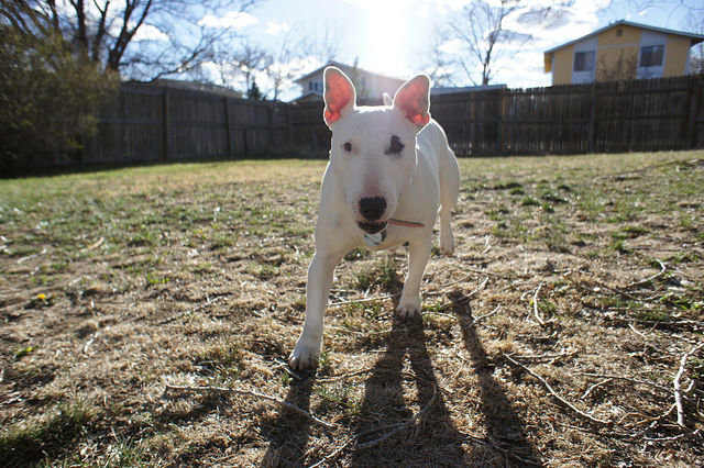 3 Basic Behaviors You Must Teach Your Bull Terrier