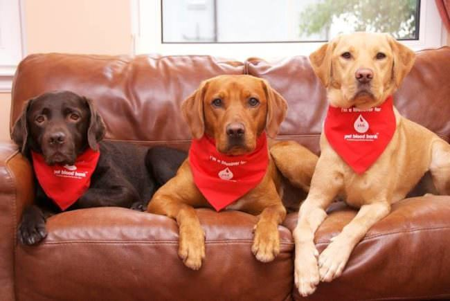 Blood Donor Dogs: These Unsung Heroes Could Save Your Pup's Life