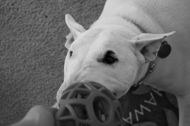 3 Great Ways To Strengthen Your Bond With Your Bull Terrier