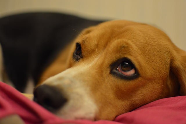 Top 3 Health Concerns For Your Beagle