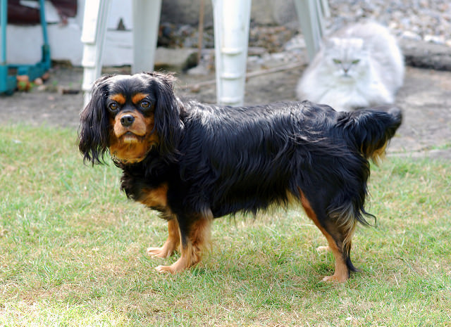 3 Signs Your King Charles Spaniel is Overweight