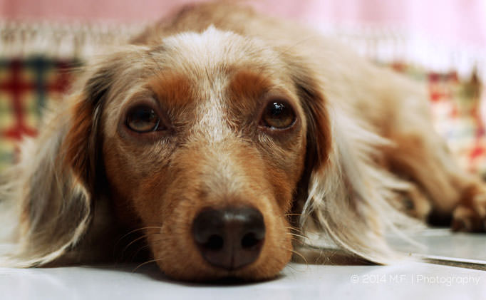 80% of Dachshunds Over 8 Have This Painful Issue, But Hide It From Their Owners