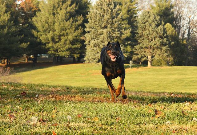3 Basic Behaviors You Must Teach Your Doberman