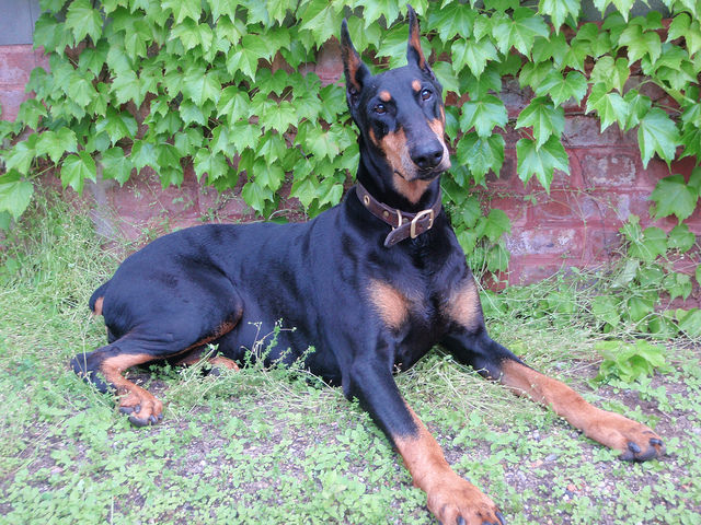 Top 3 Health Concerns For Your Doberman