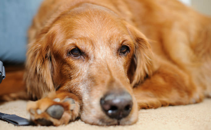 80 Of Golden Retrievers Over 8 Have This Painful Issue -1089