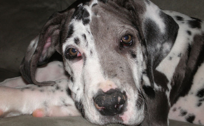 80% of Great Danes Over 8 Have This Painful Issue, But Hide It From Their Owners