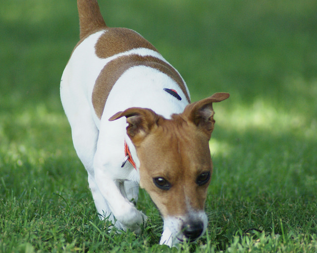 5 Tips to Stop Your Jack Russell Terrier From Digging