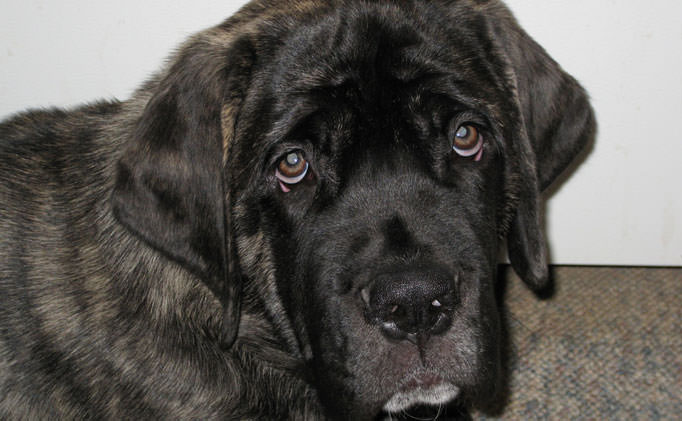 80% of Mastiffs Have This Painful Issue, But Hide It From Their Owners