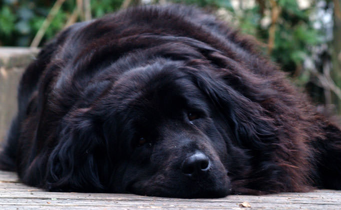 80% of Newfoundlands Have This Painful Issue, But Hide It From Their Owners