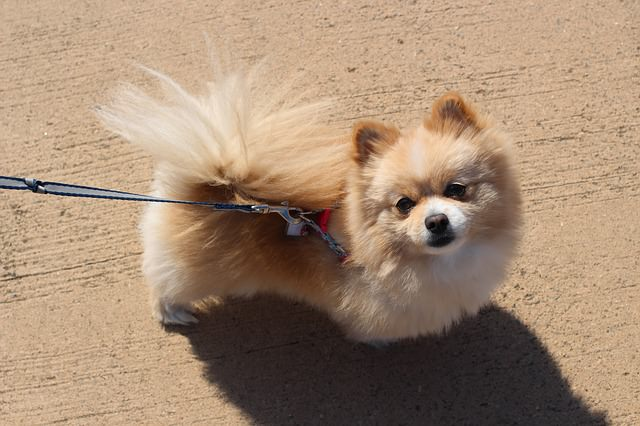 Top 3 Health Concerns For Your Pomeranian