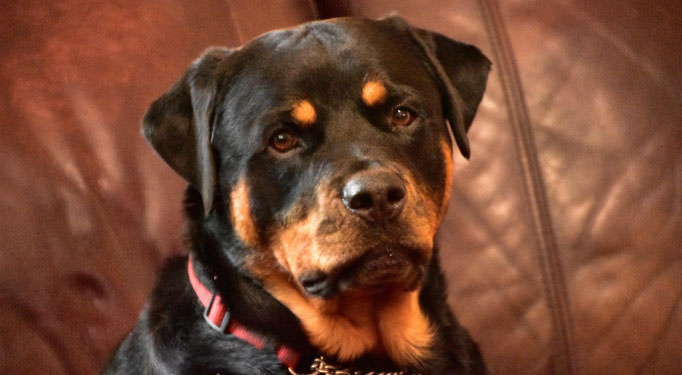 At What Age Should I Begin Giving My Rottweiler a Joint Supplement?