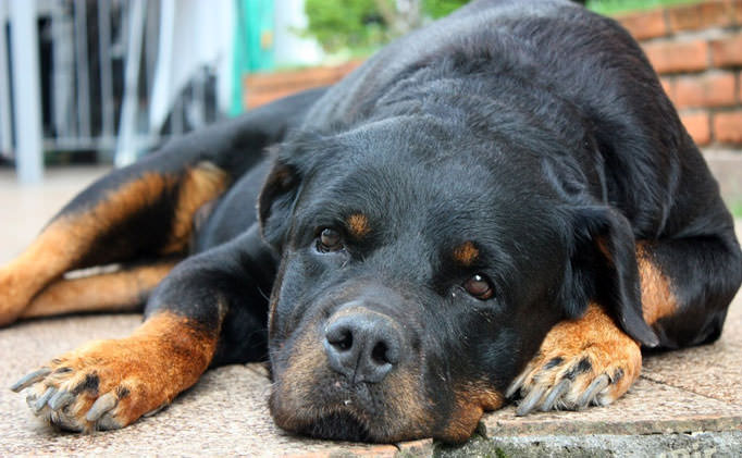 80% of Rottweilers Over 8 Have This Painful Issue, But Hide It From Their Owners