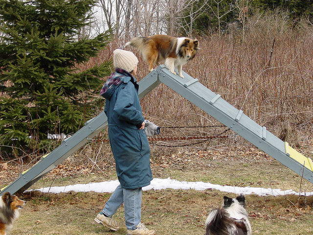 3 Great Ways To Strengthen Your Bond With Your Shetland Sheepdog