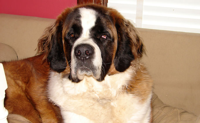 80% of St. Bernards Have This Painful Issue, But Hide It From Their Owners