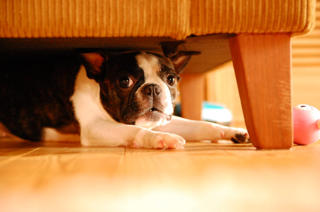 small-dog-boston-terrier