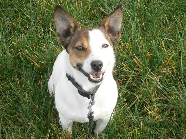 3 Basic Behaviors You Must Teach Your Jack Russell Terrier