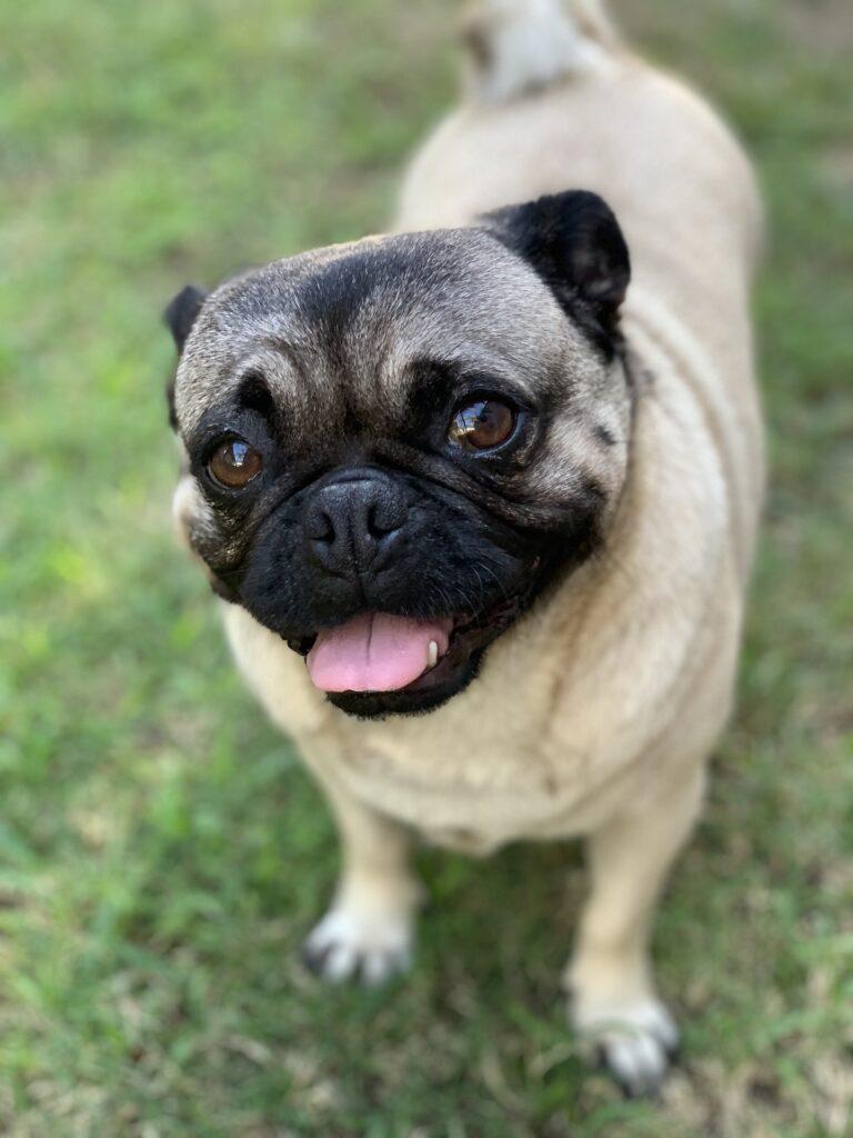 dog-breed-pug