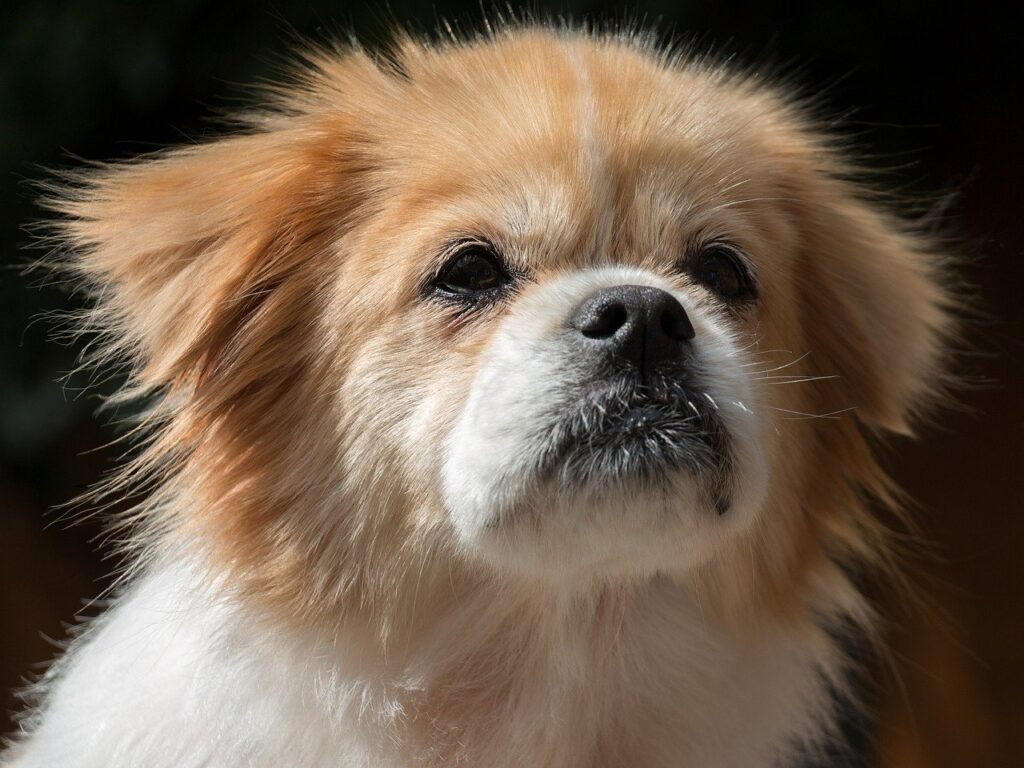 dog-breed-tibetan-spaniel