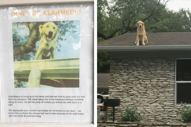 Golden Retriever News Stories Pictures Amp Products