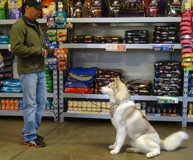How To Teach Your Husky To Sit & Stay
