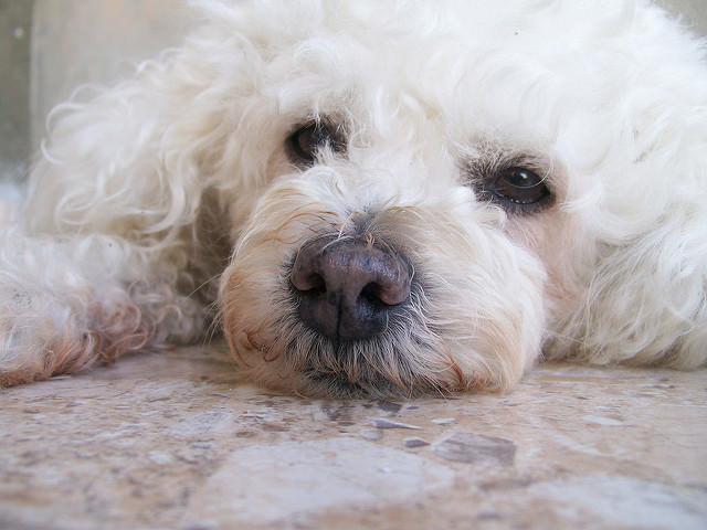 Top 3 Health Concerns For Your Poodle