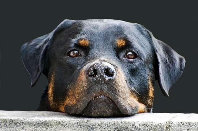 Top 3 Health Concerns For Your Rottweiler