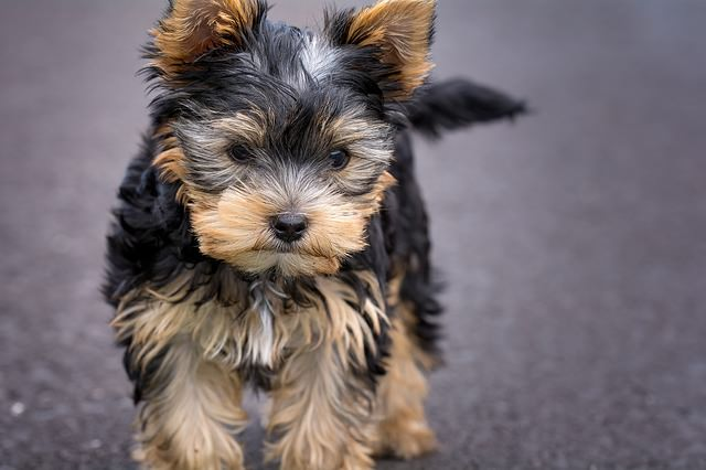 Top 3 Health Concerns For Your Yorkie