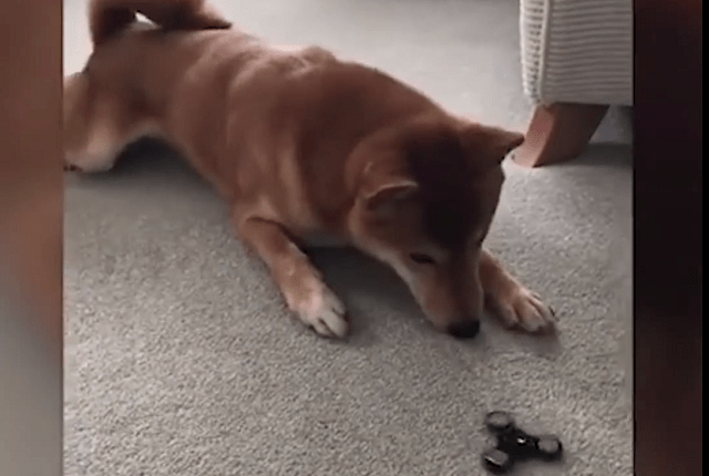 The Best Toys Ever or Pure Evil? Dogs Decide About Fidget Spinners