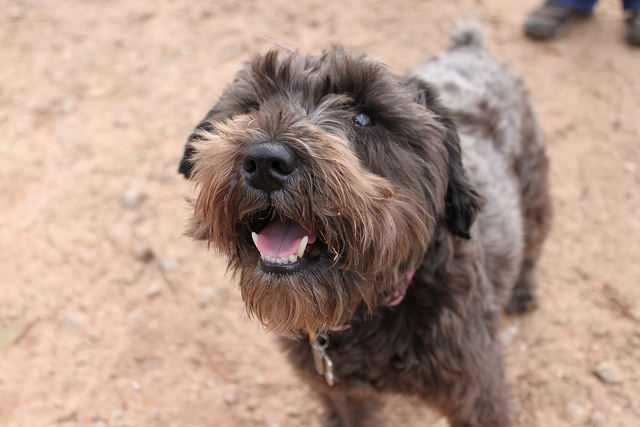 4 Things To Do When Your Schnauzer Is Stressed