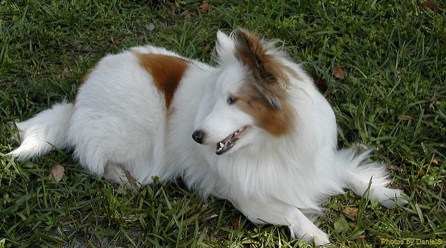 Top 3 Health Concerns For Your Shetland Sheepdog